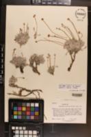 Eriogonum verrucosum image