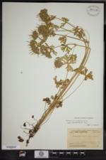 Geranium carolinianum var. carolinianum image