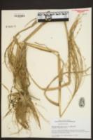 Panicum miliaceum subsp. miliaceum image