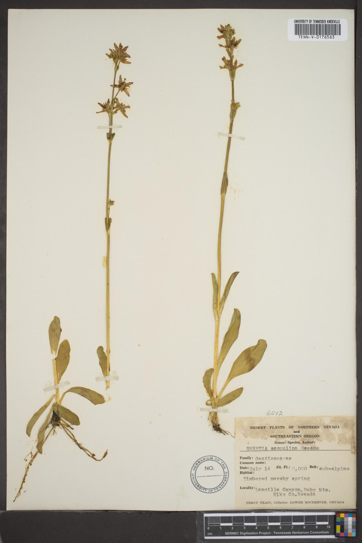 Swertia scopulina image