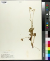 Image of Saxifraga ranunculifolia