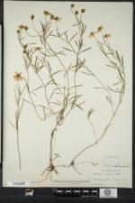Coreopsis rosea image