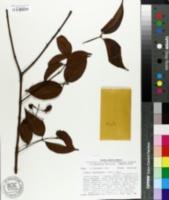 Image of Vismia cayennensis