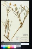 Image of Nierembergia frutescens