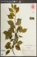 Prunus mume image