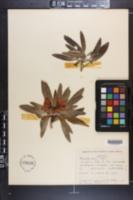 Image of Rhododendron ashleyi