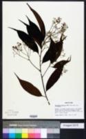 Image of Nectandra pichurim