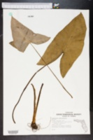 Image of Xanthosoma sagittifolium
