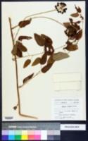 Smilax walteri image