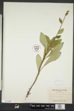 Hieracium scabrum image