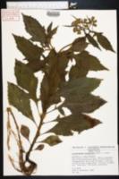 Image of Crassocephalum crepidioides