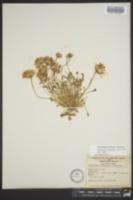 Townsendia florifer image