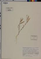 Streptanthus glandulosus image