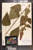 Image of Salvia macrostachya