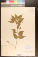 Image of Asemeia acuminata