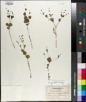 Image of Euphorbia gracilis