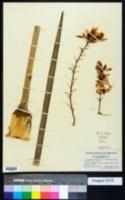 Yucca whipplei image