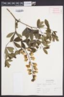 Baptisia lactea var. pendula image