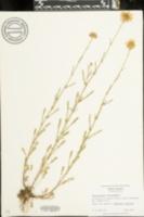 Leucanthemum vulgare image
