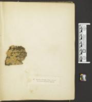Steccherinum ciliolatum image