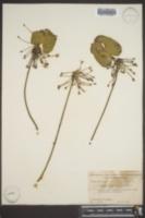 Nymphoides aquatica image