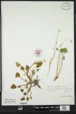 Ficaria verna subsp. fertilis image