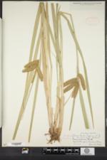 Carex comosa image