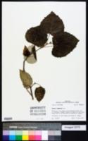 Image of Populus tomentosa