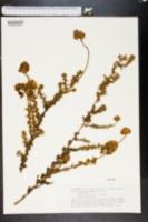 Image of Adenocarpus foliolosus