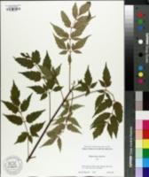 Image of Dipteronia sinensis