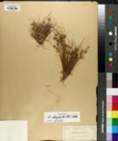 Image of Fimbristylis stenophylla