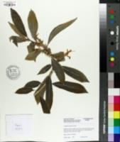 Image of Columnea argentea