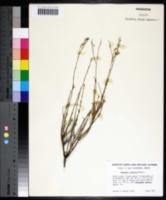 Menodora scabra image