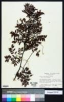 Acacia choriophylla image