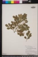 Image of Aglaia elaeagnoidea