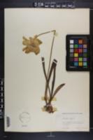 Sarracenia flava image