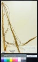 Image of Muhlenbergia longifolia