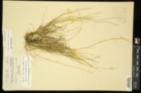 Sporobolus ozarkanus image