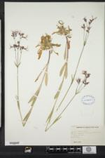 Lychnis image