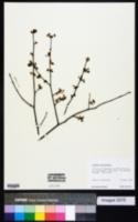 Image of Lindera subcoriacea