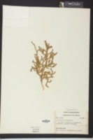 Palhinhaea cernua image