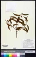 Dulacia candida image