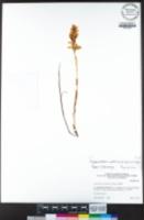 Cephalanthera austiniae image