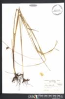 Scleria ciliata image