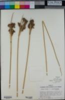 Juncus acutus subsp. leopoldii image