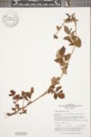 Image of Salvia miltiorrhiza