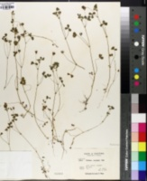Trifolium variegatum image