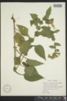 Solidago auriculata image