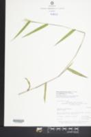 Panicum dichotomum var. ramulosum image
