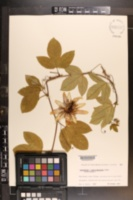 Passiflora alato-caerulea image
